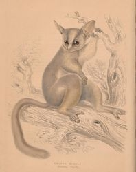 bush baby image slide
